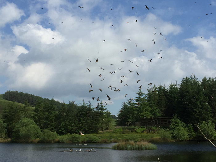 red kites feeding at bwlch nant yr arian