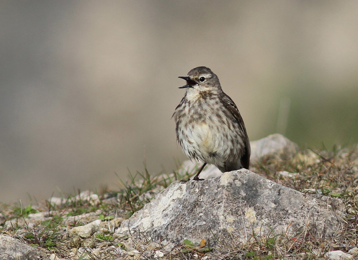 Rock Pipit 4a Portland, 20 May 2016