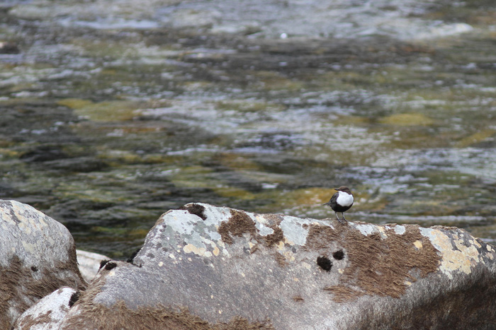 (Black-bellied) Dipper 1, Geiranger, 4 May 2015
