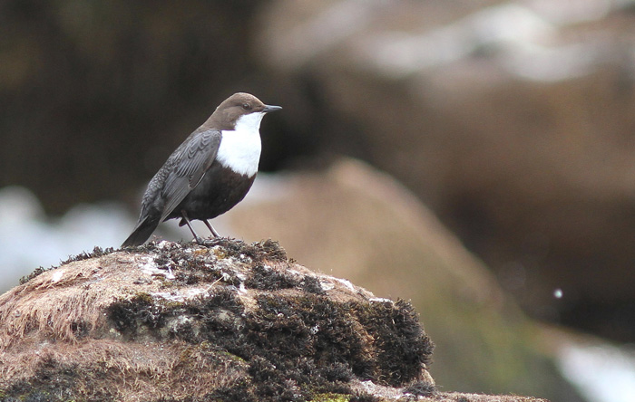 (Black-bellied) Dipper 11a, Geiranger, 4 May 2015