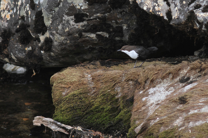(Black-bellied) Dipper 3, Geiranger, 4 May 2015