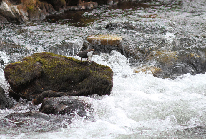 (Black-bellied) Dipper 4, Geiranger, 4 May 2015