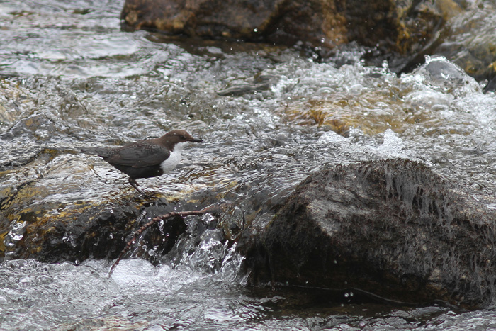(Black-bellied) Dipper 7a, Geiranger, 4 May 2015