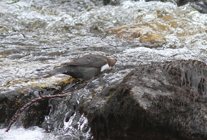 (Black-bellied) Dipper 8, Geiranger, 4 May 2015