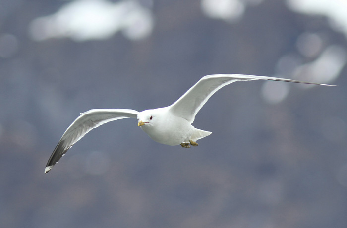 Common Gull 1, Geiranger, 4 May 2015