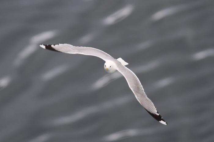 Common Gull 1, Geiranger, 7 July 2016