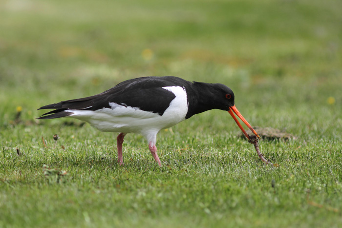 Oystercatcher 2, Geiranger, 4 May 2015