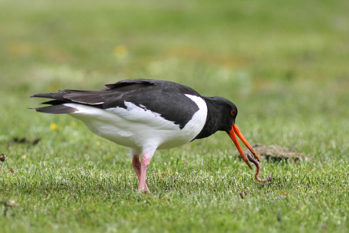Oystercatcher 3, Geiranger, 4 May 2015