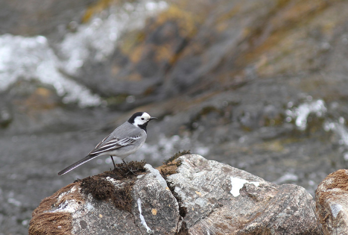 White Wagtail 1, Geiranger, 4 May 2015