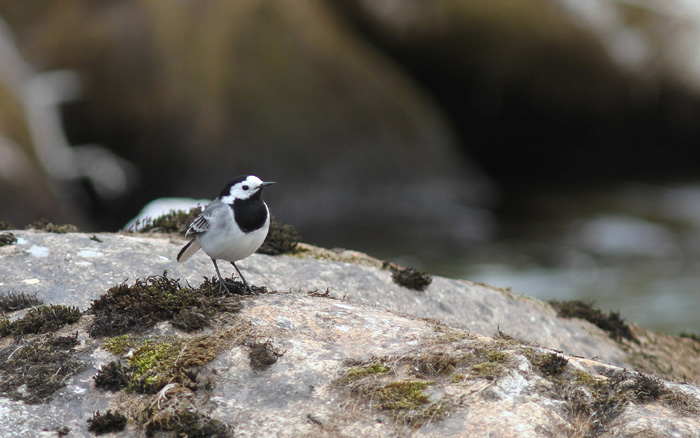 White Wagtail 2, Geiranger, 4 May 2015