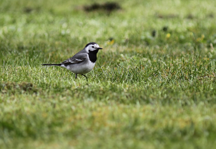 White Wagtail 3, Geiranger, 4 May 2015