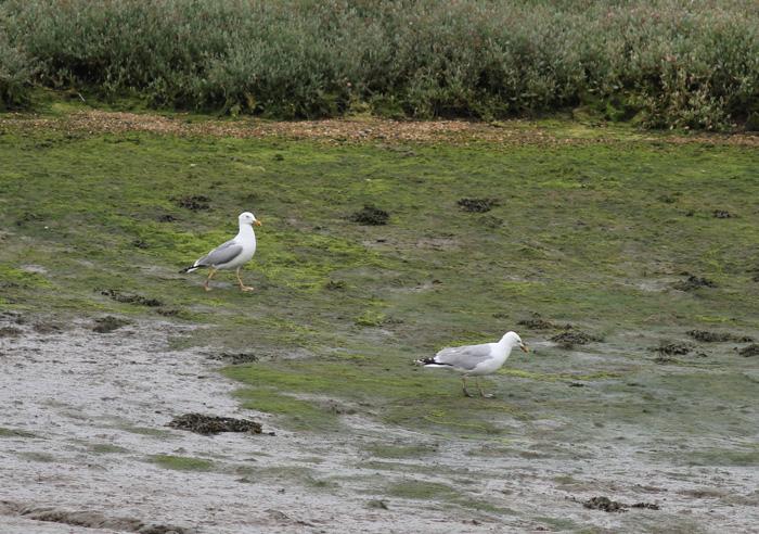 Yellow-legged Gull 4, Hook with Warsash, 11 July 2016