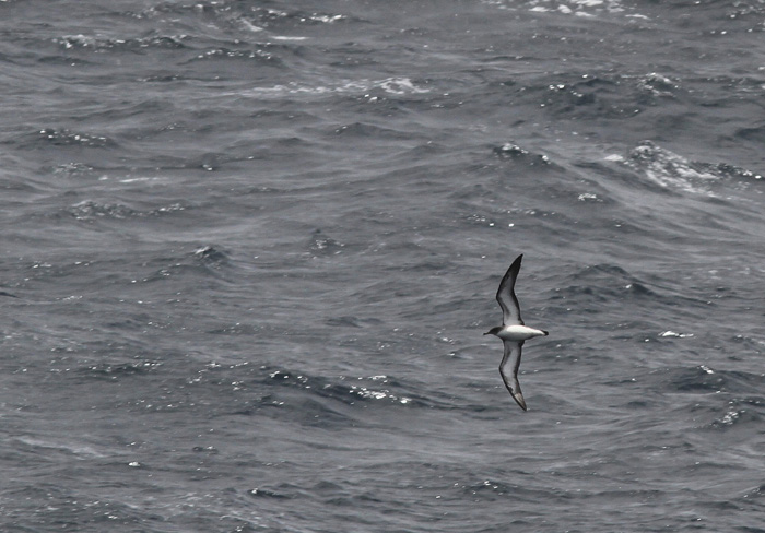 Cape Verde Shearwater 3a, Cape Verde Islands, 13 Apr 2015