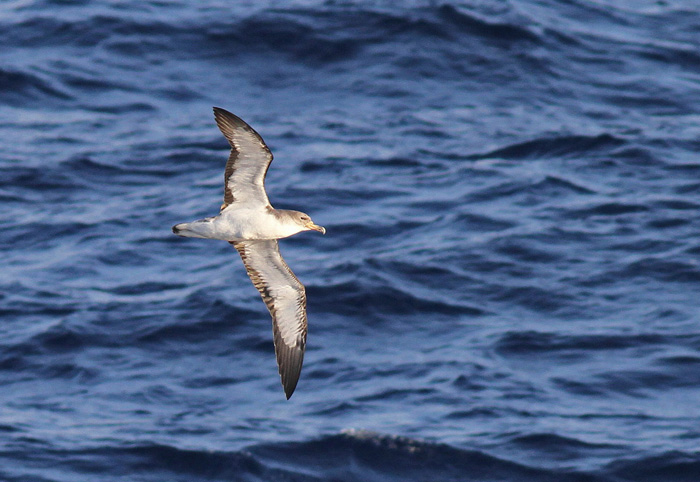 Cory's Shearwater 1a, Canary Islands, 17 Apr 2015