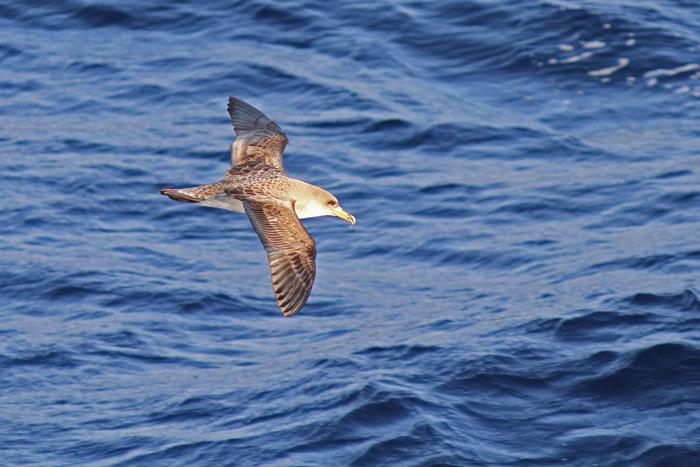 Cory's Shearwater 2aa, Canary Islands, 17 Apr 2015