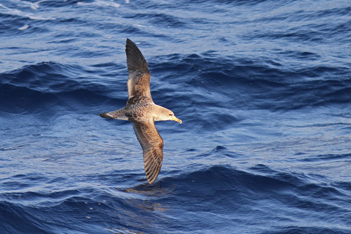 Cory's Shearwater 3a, Canary Islands, 17 Apr 2015
