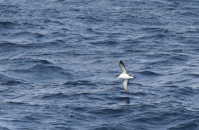 Manx Shearwater 2a, Madeira, 18 Apr 2015
