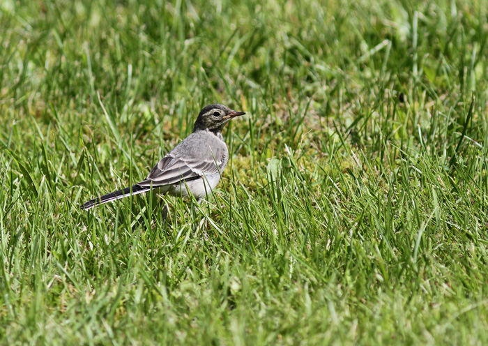 White Wagtail 1, Geiranger, 7 July 2016