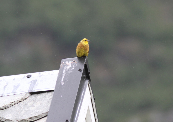 Yellowhammer 1, Olden, 6 July 2016