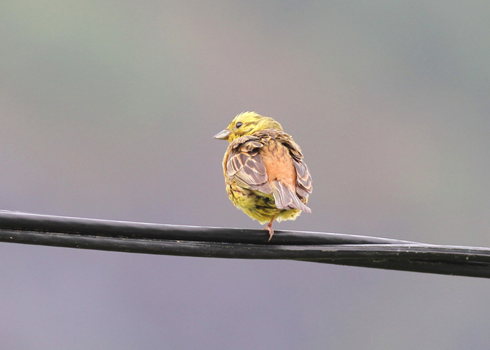 Yellowhammer 2a, Olden, 6 July 2016