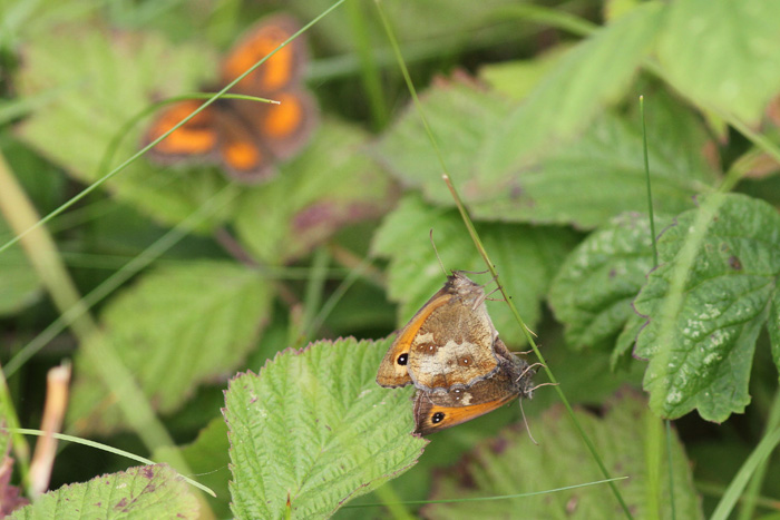 Gatekeepers 1, Formby Dunes, 22 July 2016