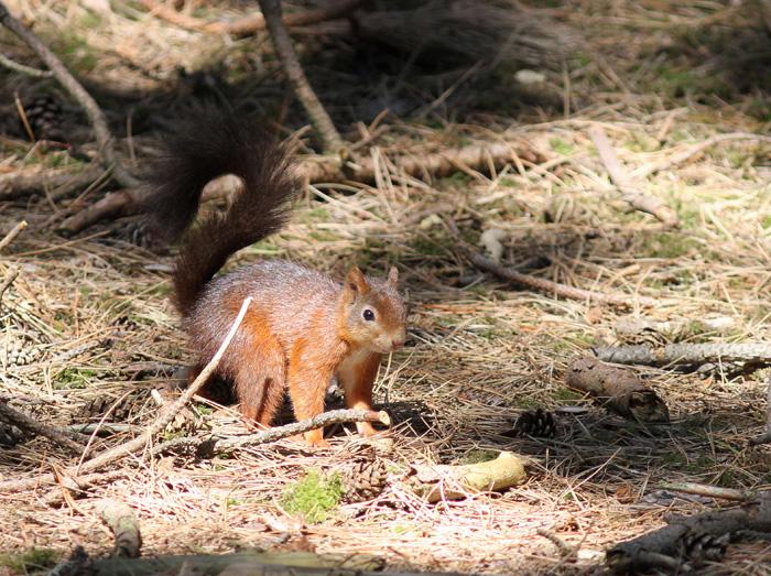 Red Squirrel 1, Freshfield, Formby, 22 July 2016