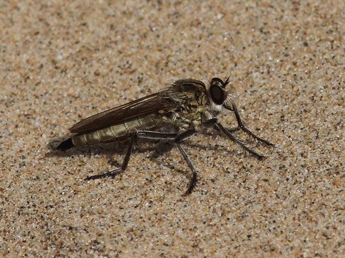 Robber Fly 1a, Formby Dunes, 22 July 2016
