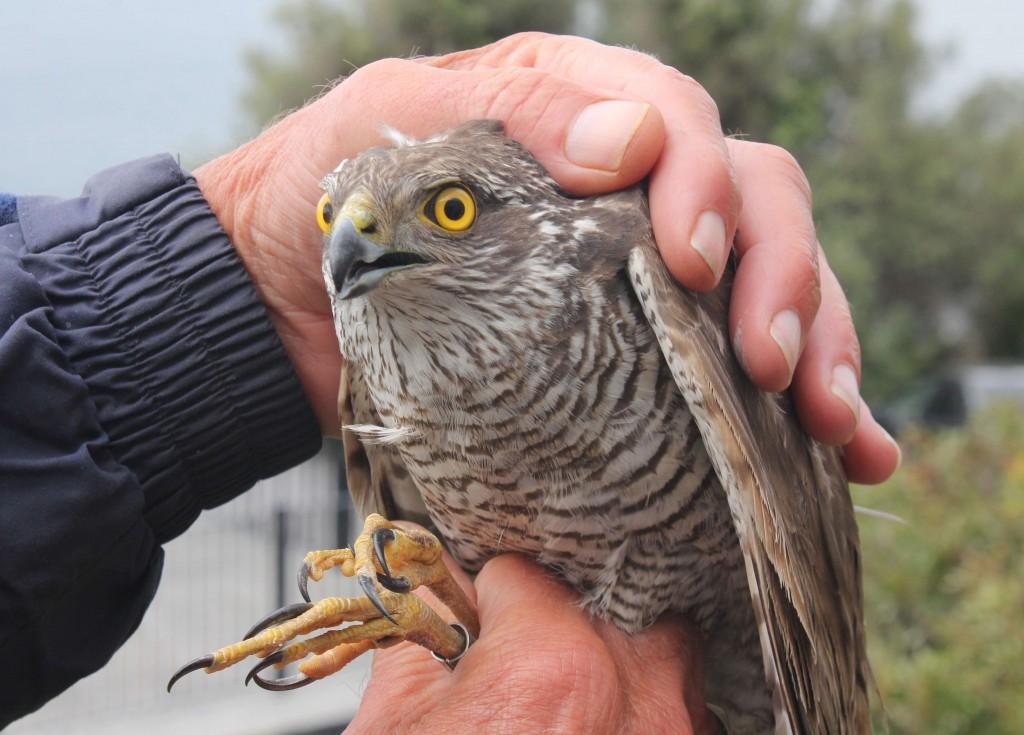Sparrowhawk Gib 270315 370