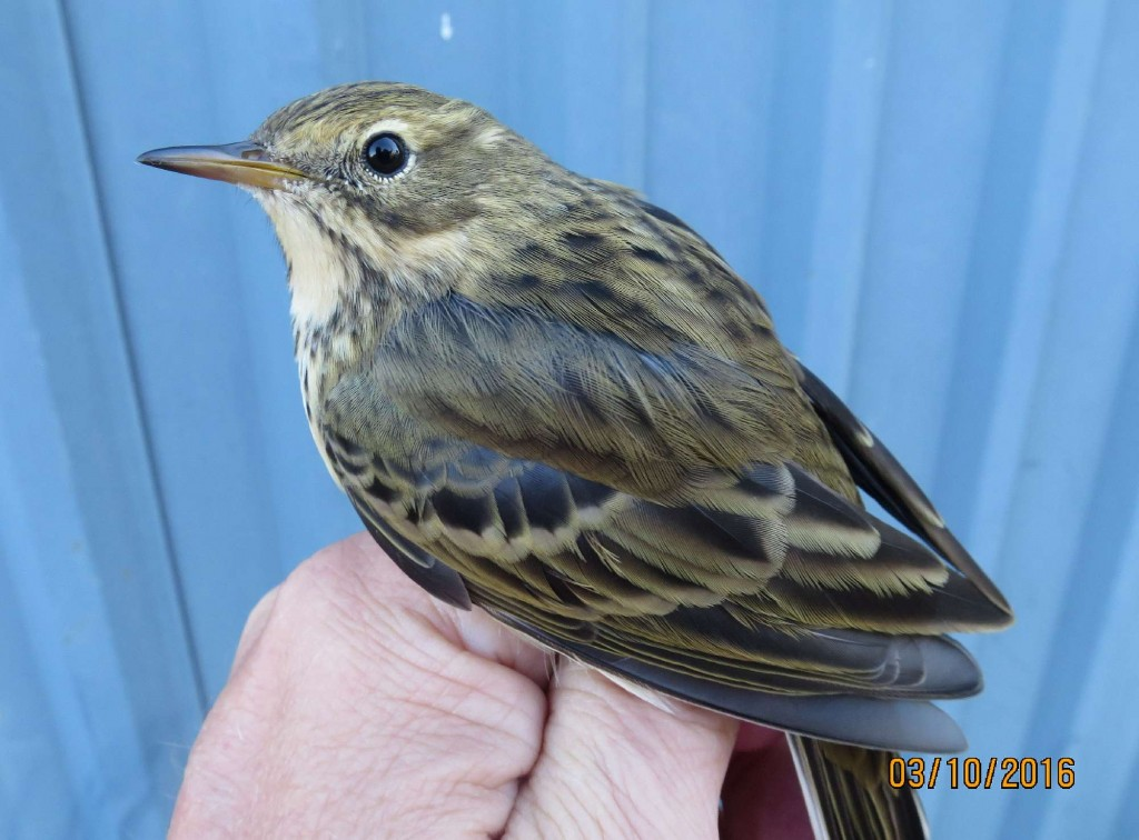 Meadow Pipit 031016