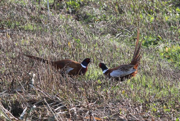 Pheasants 1, Titchfield Haven, 19 Nov 2016