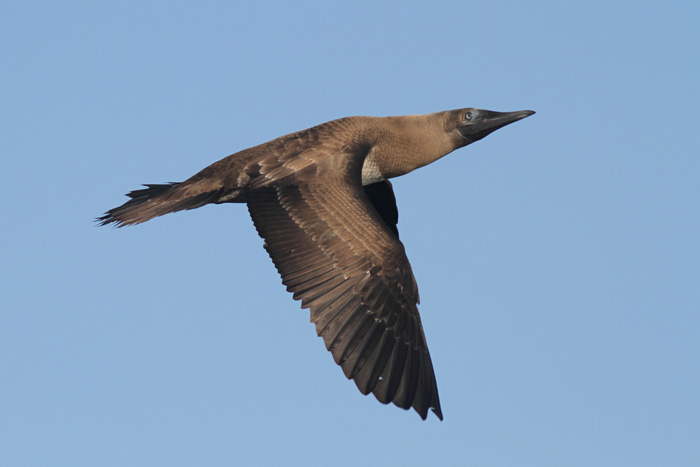 Brown booby immature - photo#4