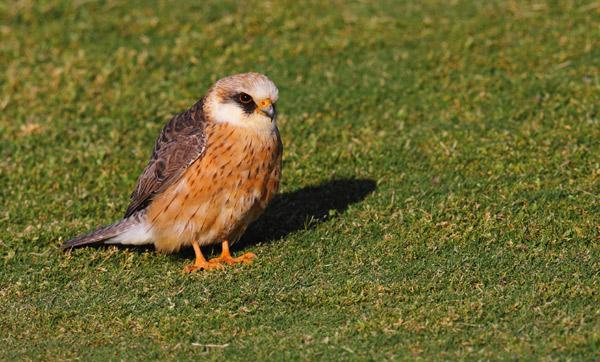 Red Footed Falcon Falco Vespertinus Cernicalo Patirrojo