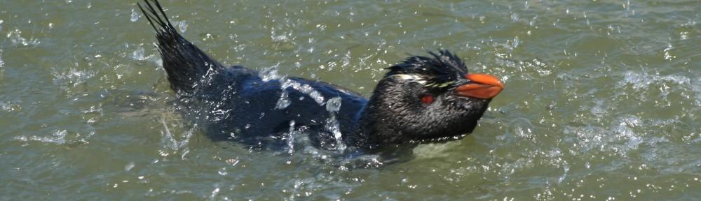 Birding in the Falkland Islands