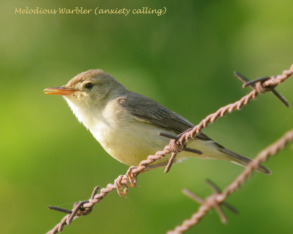 melodious-warbler-anxiety-calling-0906053001