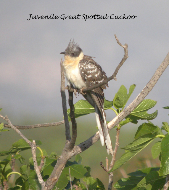 great spotted cuckoo 040308