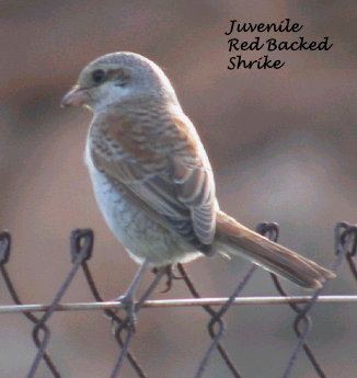 juv red backed shrike