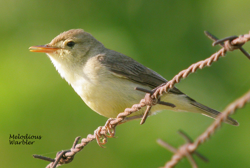 melodious warbler anxiety calling 0906053#001-001