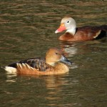 whistling_duck_comparison