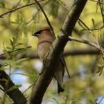 cedar_waxwing_oak_blossom