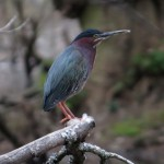 green_heron_claypit_pond
