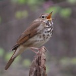 hermit_thrush_apr14