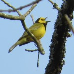 hooded_warbler_male