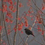 rusty_blackbird_red_maple