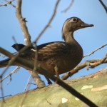 wood_duck_female