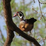 wood_duck_male