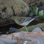 blackpoll_female