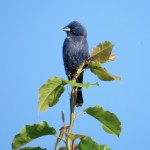 blue_grosbeak_milledge