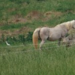cattle_egret_smilledge