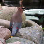 cedar_waxwing_birdbath