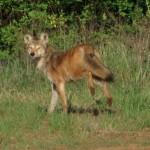 coyote_n_oconee